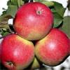 Иммунные сорта яблонь. Часть 2